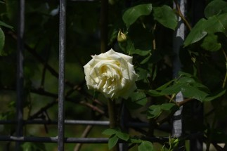 Paul's Lemon Pillar