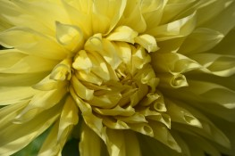 Dahlia Babylon Yellow
