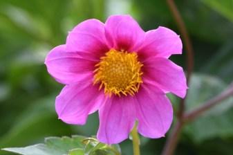 Cornish Rose
