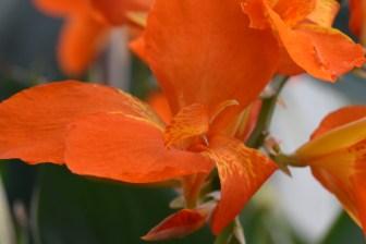 Canna Orange Punch