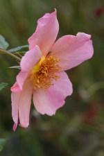 Rosa Morning Mist 'Ausfire'