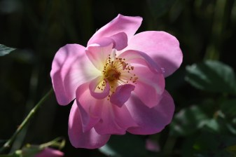Rosa The Lady's Blush 'Ausoscar'