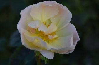 Rosa Champagne Moment 'Ausufo'