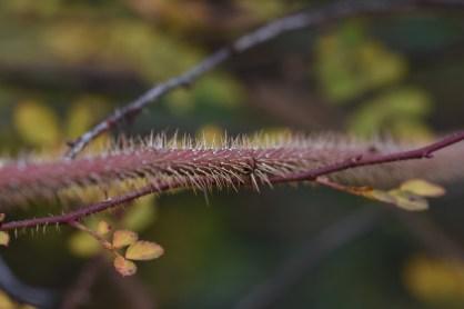 Rosa elegantula Persetosa