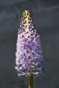 Scilla madeirensis