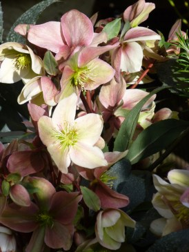 newletter-hellebore-winter-sunshine