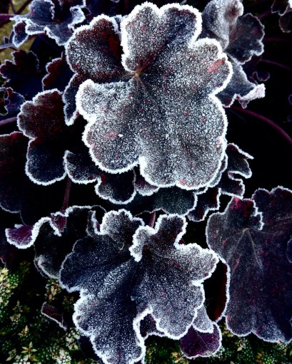 newletter-heuchera-frosted
