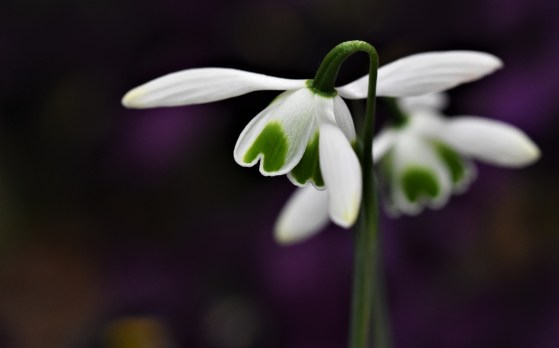 Galanthus Hippolyta