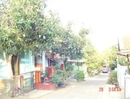 pohon mangga di kampung