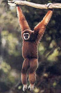 monyet gibbon