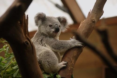 koala-2914975_1280