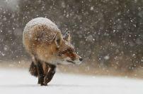 Лисица дебне в снега