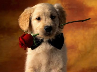 Куче с роза