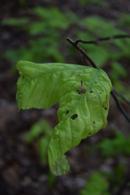 I wasn't sure if this leaf was just very sickly or if it had been some creatures lunch...