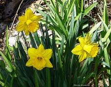 75-0414-1-daffodils