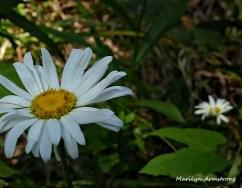 72-Daisy-Flowers_22