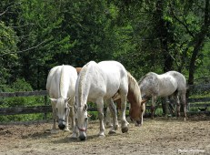 72-Percheron-Horses_04