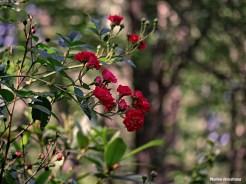 72-Red-Roses-Garden_25