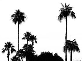 Palms in Phoenix