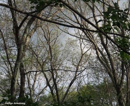 72-oak-post-gypsy-moths-060816_02