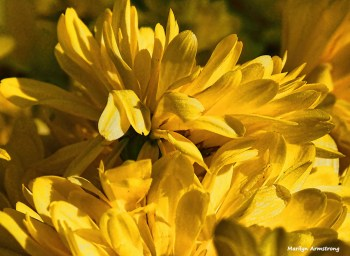 72-yellow-mums-macro-autumn-10112016_032