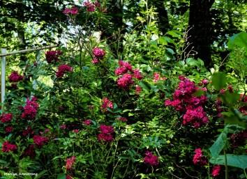 A full flowering of roses