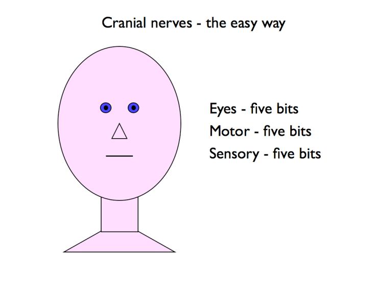 cranial nerves.005