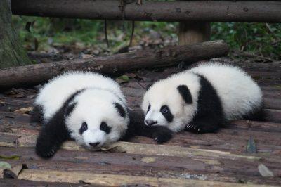 Pandas in Chengdu zoo