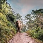 Elephant in Chiang Mai