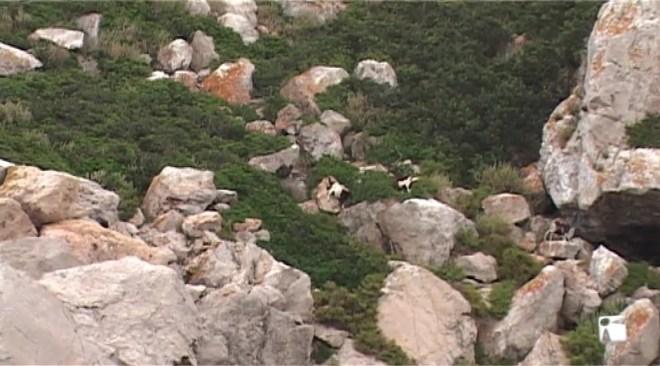 08/02 Amenaces i insults al conseller Miquel Vericad per l'extermini de les cabres des Vedrà