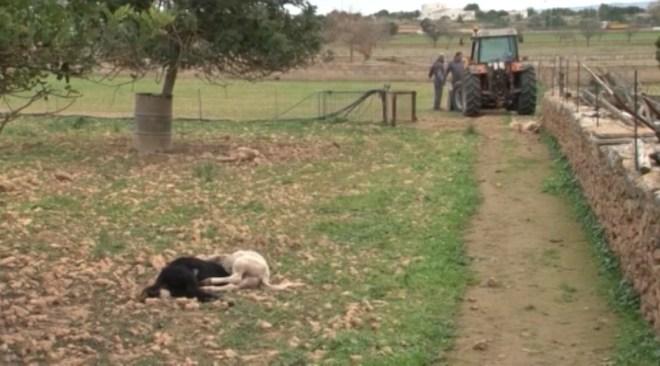 16/01 Els cans ataquen de nou a Formentera