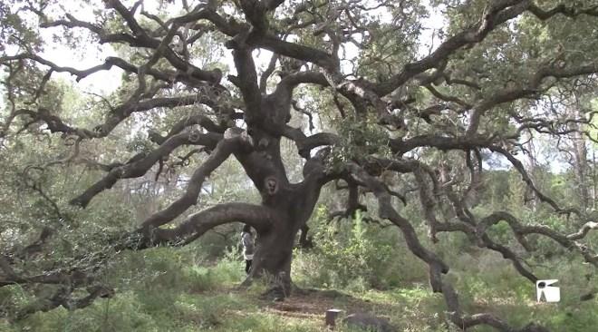 13/11/2019 Els arbres singulars de les Pitiüses