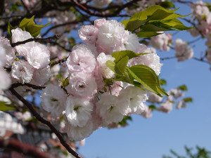 八重桜がとってもきれいでした