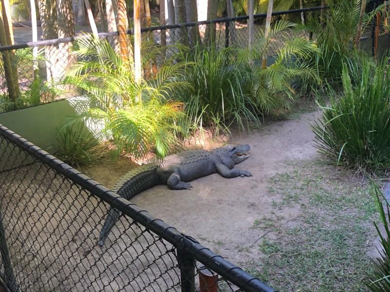 Crocodile at Australia Zoo