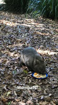 Wombat eating food