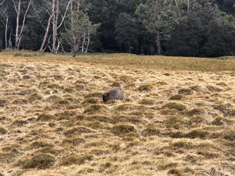 wombat in meadow
