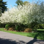 Tehandon Landscapes And Trees Inc Living Fences Creating Privacy In The Landscape