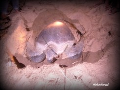 Turtles will lay eggs at Ujung Genteng Beach