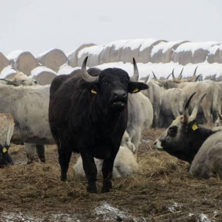 Die Büffel in ihrer Winterrezidenz