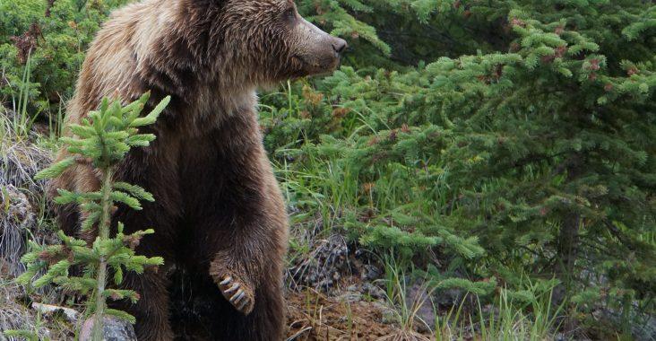 Grizzly Kanada