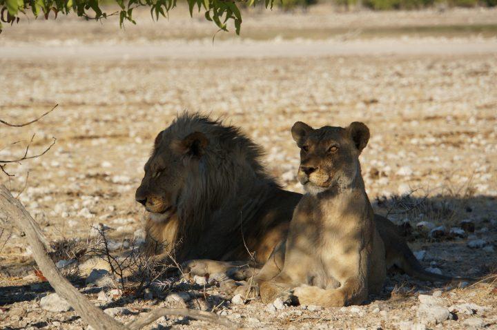 Löwenrudel Namibia