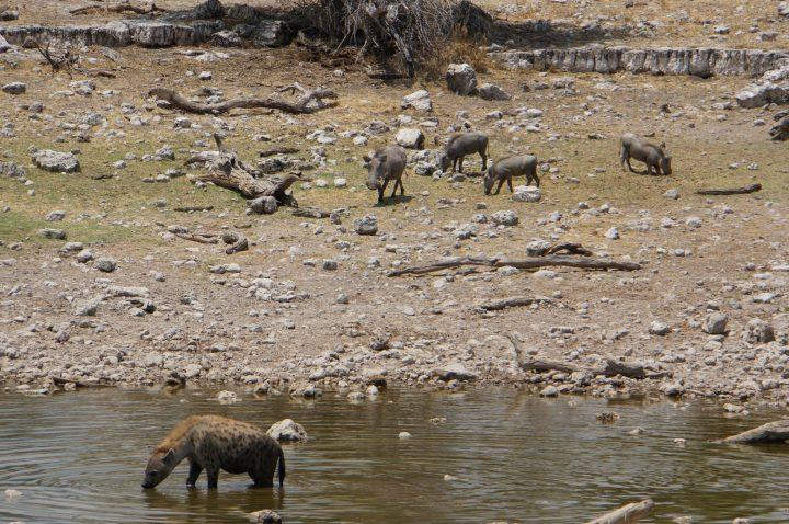 Hyäne und Warzenschweine