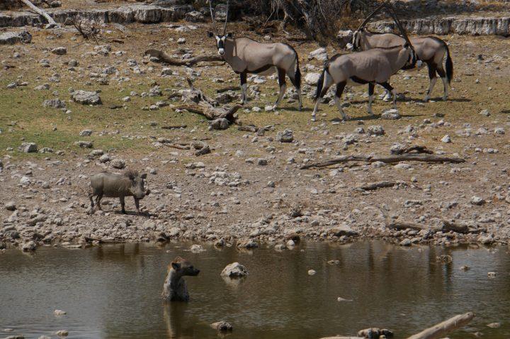 Hyäne in Namibia auf Jagd