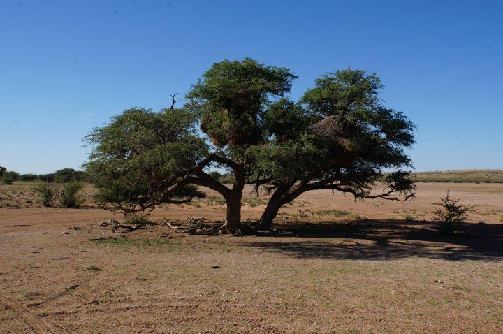 Kameldornakazie Namibia