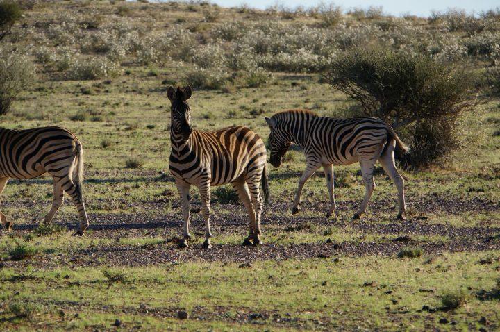 Steppenzebras Kalahari