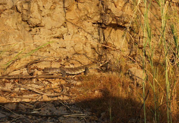 Waran im Kavango River