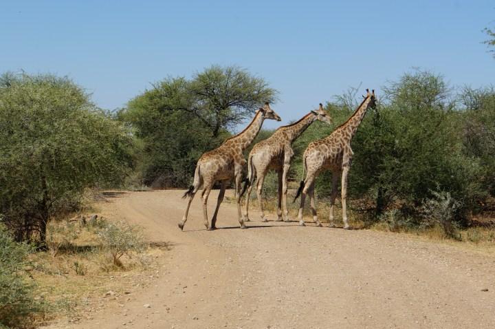 Giraffen im Mahango Game Park