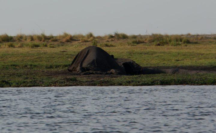 toter Elefant Botswana