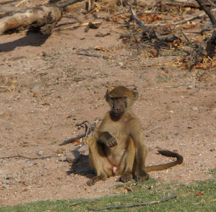 Affen Botswana