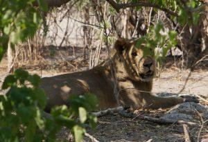 Löwe Löwin Botswana